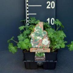 """Plantenwinkel.nl Ooievaarsbek (geranium cantabrigiense """"Biokovo"""") bodembedekker - 6-pack - 1 stuks"""