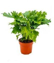 Plantenwinkel.nl Philodendron bipinnatifidum little hope kamerplant