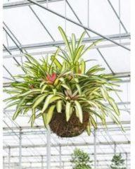Plantenwinkel.nl Neoregelia carolinae tricolor hangplant