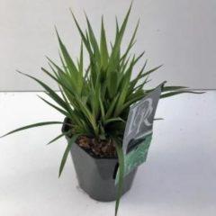 Plantenwinkel.nl Grote veldbies (Luzula sylvatica) siergras - 6 stuks
