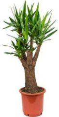 Plantenwinkel.nl Yucca elephantipes stam vertakt kamerplant