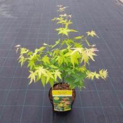 Groene Plant-e-motion Acer palmatum 'Orange Dream'; Totale hoogte 60+cm incl. Ø 19cm pot - Japanse esdoorn