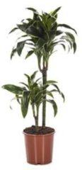 Plantenwinkel.nl Dracaena dorado XS kamerplant