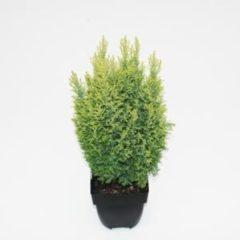 "Plantenwinkel.nl Schijncipres (Chamaecyparis lawsoniana ""Ellwoodii Gold"") conifeer - 6 stuks"