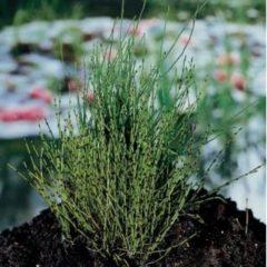 Moerings waterplanten Dwergholpijp (Equisetum scirpoides) moerasplant - 6 stuks