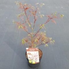 "Plantenwinkel.nl Japanse esdoorn (Acer Palmatum ""Atrolineare"") - 3 stuks"