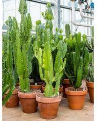 Plantenwinkel.nl Euphorbia cactus acruensis XL kamerplant