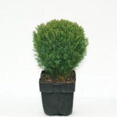 "Plantenwinkel.nl Westerse levensboom (Thuja occidentalis ""Teddy"") conifeer - 6 stuks"