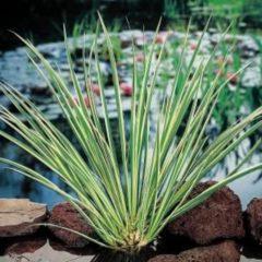 Moerings waterplanten Dwergkalmoes (Acorus gramineus) moerasplant - 6 stuks
