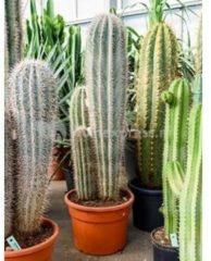 Plantenwinkel.nl Pachycereus cactus pringlei 3pp kamerplant