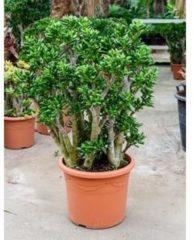 Plantenwinkel.nl Crassula gollum XL kamerplant