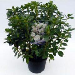 """Plantenwinkel.nl Rododendron (Rhododendron Japonica """"Schneewittchen"""") heester - 3 stuks"""