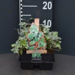 """Plantenwinkel.nl Klimop (hedera helix """"Glacier"""") bodembedekker - 4-pack - 1 stuks"""