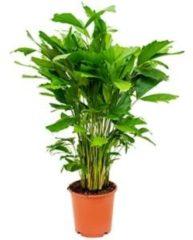 Plantenwinkel.nl Caryota Palm mitis S kamerplant