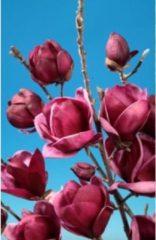 Plantenwinkel.nl Magnolia struik Genie - 160 - 180 cm - 1 stuks