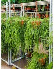 Plantenwinkel.nl Rhipsalis kirbergii hangplant