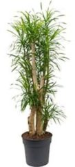 Plantenwinkel.nl Dracaena Pleomele anita L kamerplant