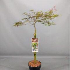"""Plantenwinkel.nl Japanse esdoorn (Acer palmatum """"Crimson Queen"""") heester - 50 cm op stam - 3 stuks"""