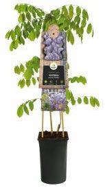 """Afbeelding van Plantenwinkel.nl Blauweregen (Wisteria Sinensis """"Prolific"""") klimplant - 70 cm - 1 stuks"""