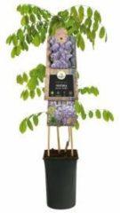 "Plantenwinkel.nl Blauweregen (Wisteria Sinensis ""Prolific"") klimplant - 70 cm - 1 stuks"