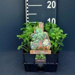 "Groene Plantenwinkel.nl Schaduwkruid (pachysandra terminalis ""Green Sheen"") bodembedekker - 6-pack - 1 stuks"