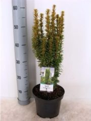 MyPlantshop.eu Taxus baccata 'David'; Totale hoogte 60-70cm incl. Ø 19cm pot | Prachtige kleuren!