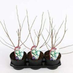 Plantenwinkel.nl Magnolia struik Stellata Royal Star - 40 - 50 cm - 3 stuks