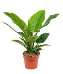 Plantenwinkel.nl Philodendron imperial groen S kamerplant