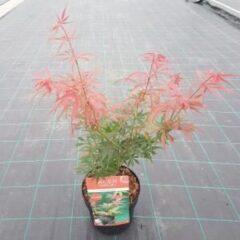 """Plantenwinkel.nl Japanse esdoorn (Acer palmatum """"Jerre Schwartz"""") heester - 3 stuks"""