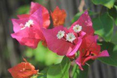 Witte FMM Sugarcraft FMM Bougainvillea Cutter Set - tropische bloem uitsteekvorm