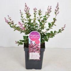 """Plantenwinkel.nl Dwergsering (syringa Bloomerang®""""Pink Perfume"""") - 30-50 cm - 1 stuks"""