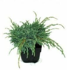 "Plantenwinkel.nl Kruipende jeneverbes (Juniperus squamata ""Blue Carpet"") conifeer - 6 stuks"