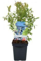 "Plantenwinkel.nl Bosbes (vaccinium corymbosum ""Hortblue Petite"") fruitplanten - 3 stuks"