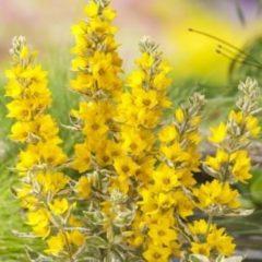 """Moerings waterplanten Bont moeras (Lysimachia """"variegata"""") moerasplant - 6 stuks"""