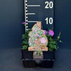 "Plantenwinkel.nl Ooievaarsbek (geranium sanguineum ""Max Frei"") bodembedekker - 6-pack - 1 stuks"