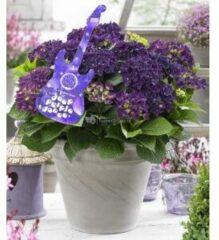 """Plantenwinkel.nl Hydrangea Macrophylla Music Collection """"Deep Purple Dance""""® boerenhortensia - 25-30 cm - 1 stuks"""