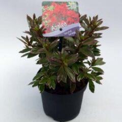 "Plantenwinkel.nl Rododendron (Rhododendron Japonica ""Hotshot Variegata"") heester - 15-20 cm - 8 stuks"