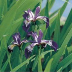 Moerings waterplanten Amerikaanse iris (Iris versicolor) moerasplant - 6 stuks