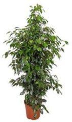 Plantenwinkel.nl Ficus danielle M kamerplant