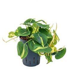 Plantenwinkel.nl Philodendron grand brasil hydrocultuur hangplant