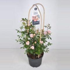 "Plantenwinkel.nl Rambler klimroos (rosa ""Open Arms""®) - C7.5 - 1 stuks"