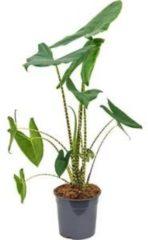 Plantenwinkel.nl Alocasia zebrina M2 kamerplant