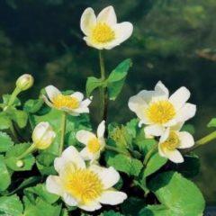 """Moerings waterplanten Witte dotterbloem (Caltha palustris """"alba"""") moerasplant - 6 stuks"""