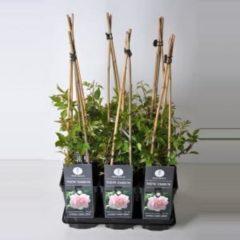 """Plantenwinkel.nl Klimroos (rosa """"New Dawn"""")"""