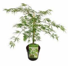 Groene MyPalmShop.nl Acer palmatum 'Dissectum' - Japanse esdoorn; Totale hoogte 60+cm incl. 19cm Ø pot