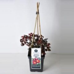 "Plantenwinkel.nl Tros klimroos (rosa ""Wild Rover""®)"