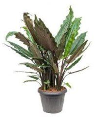 Plantenwinkel.nl Alocasia lauterbacchiana M kamerplant