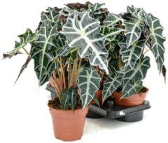Groene Plantenwinkel.nl Alocasia polly XS kamerplant