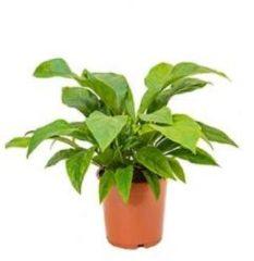 Plantenwinkel.nl Anthurium jungle bush M kamerplant