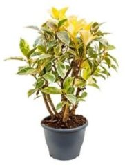 Plantenwinkel.nl Ficus petit tineke kamerplant